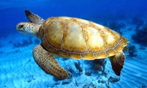 Endangered-green-sea-turt-005.jpg